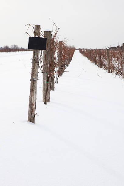Ice wine vineyard stock photo