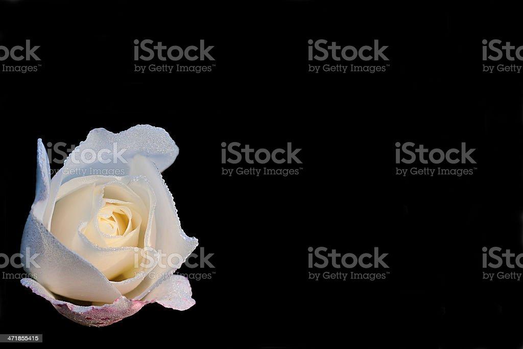 Iceberg rose royalty-free stock photo