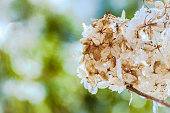 givre, fleur, douceur, printemps, hiver