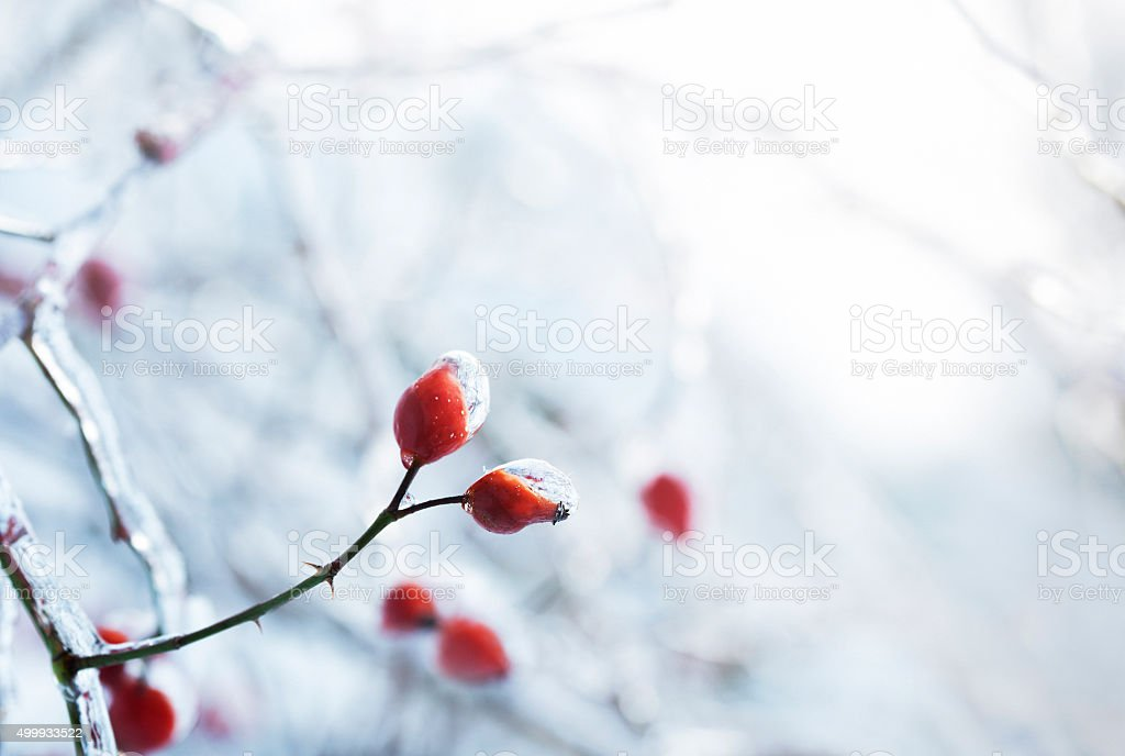 ice-covered wild rose in winter stock photo