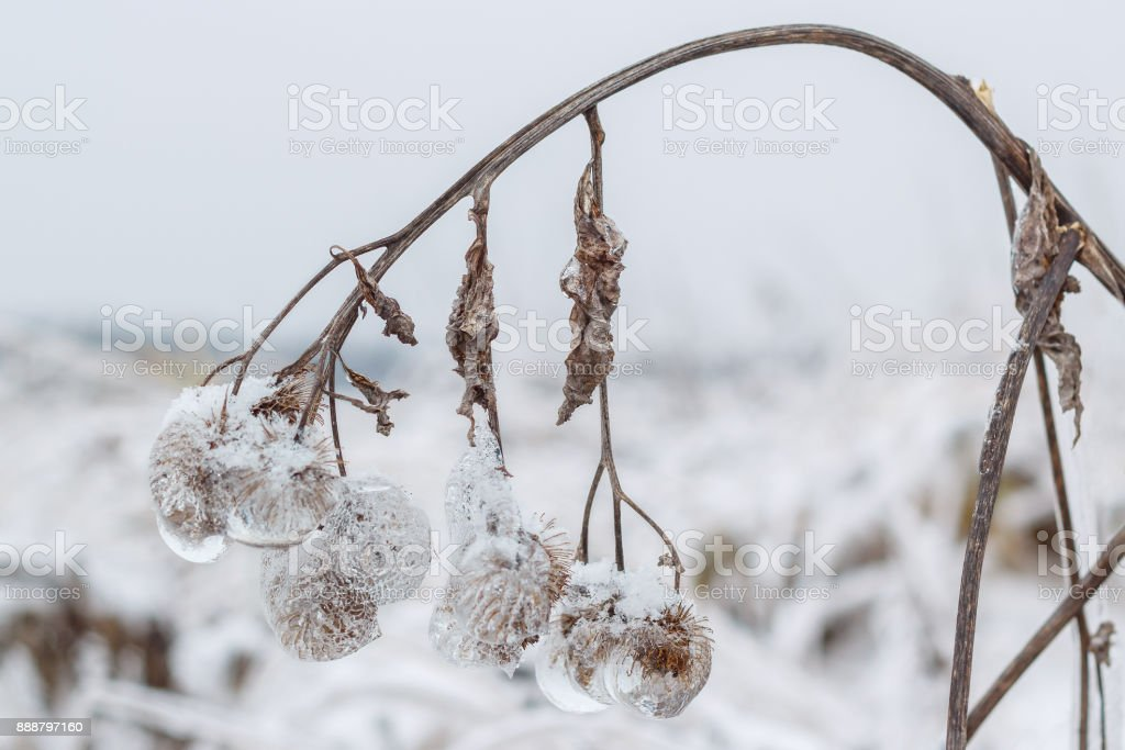 Iced agrimony at winter stock photo