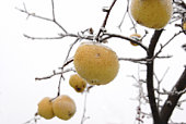 rotten apple on the tree covered with snow, image