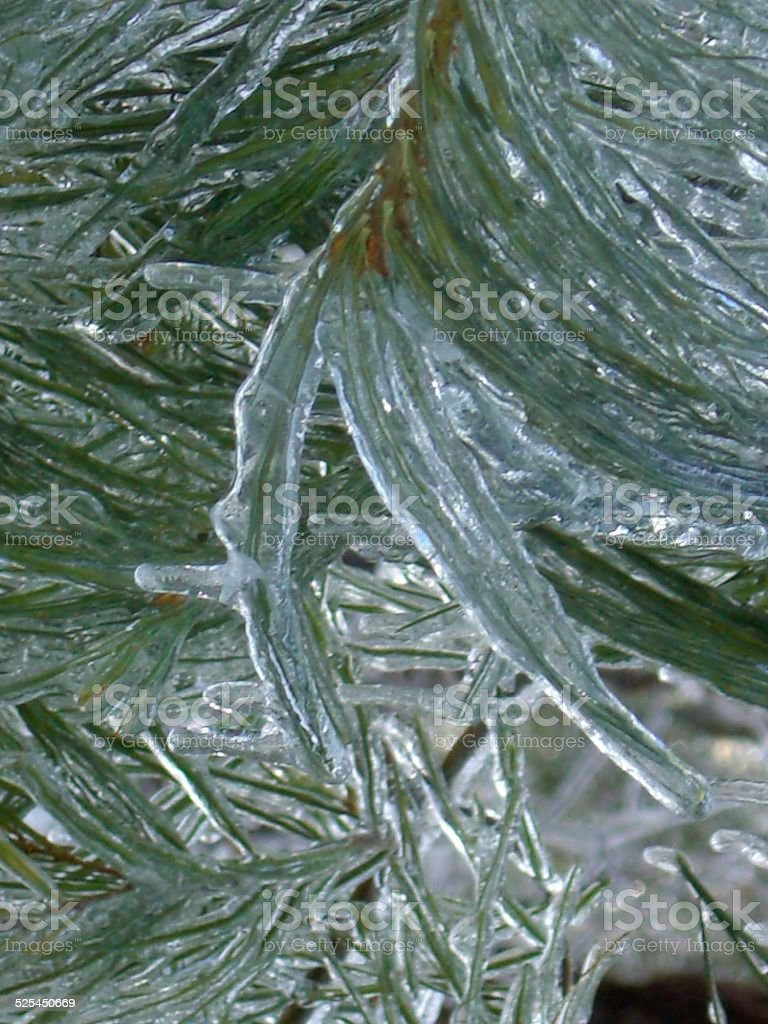 Iced PIne stock photo