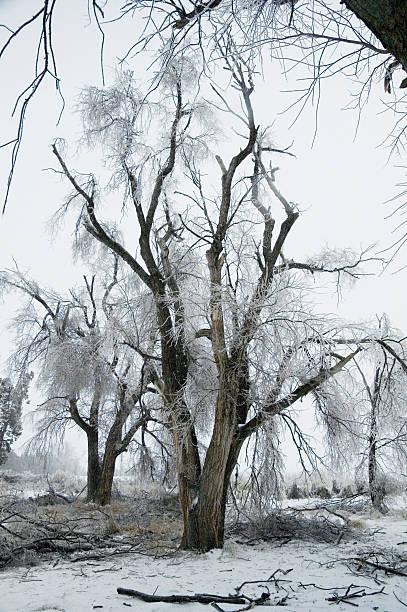 Ice-damaged Trees stock photo