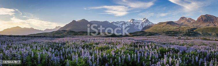 istock Iceland Blooming Icelandic Purple Lupin Flower Field Sunset Mountain Panorama 1329447817