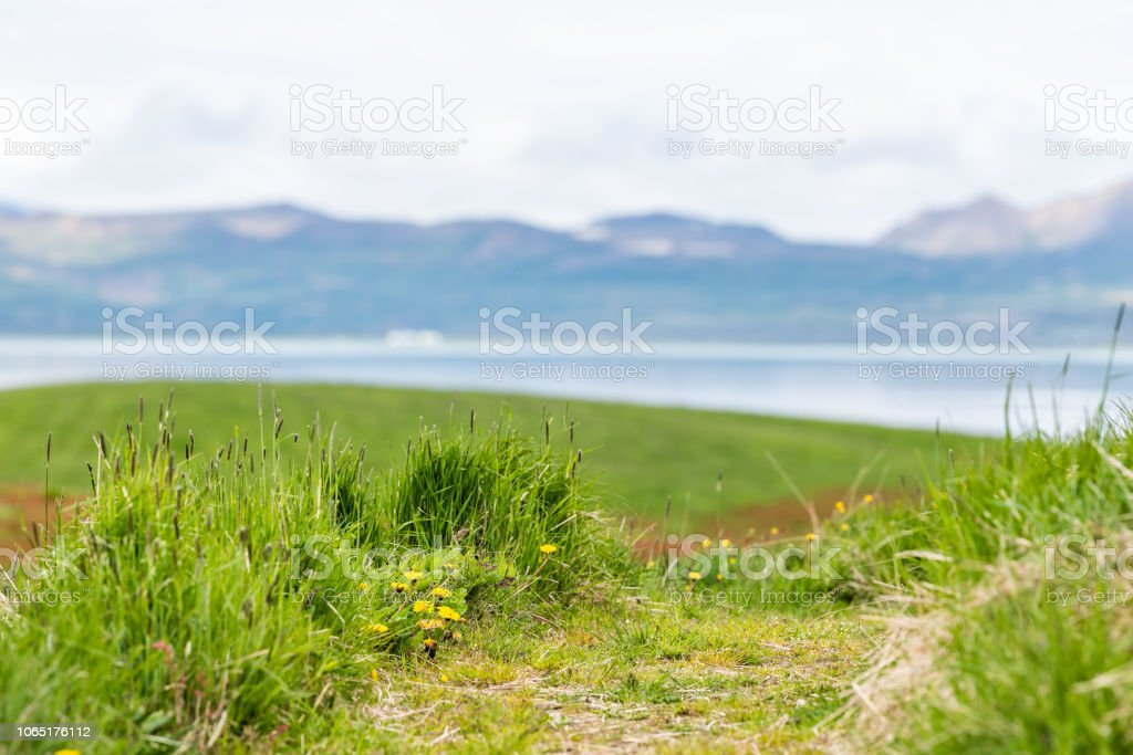 Montanhas da Islândia em Skutustadagigar com dandelion pacífica do Lago Myvatn, amarelo de flores na mola de verão, água tranquila, colina de montanha no verão, a grama verde - foto de acervo