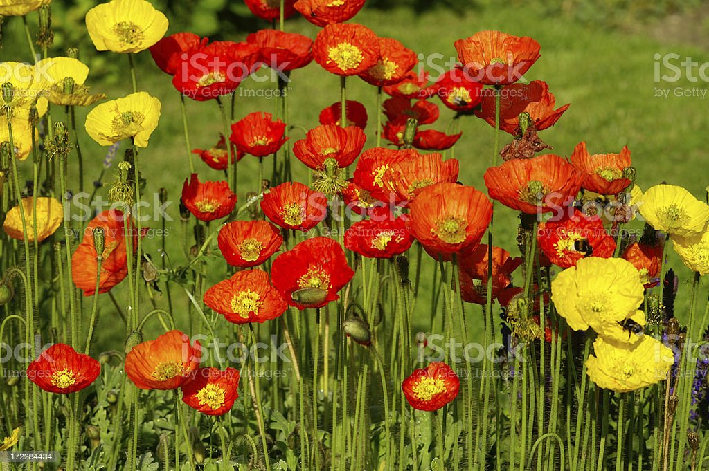 Iceland poppies 3 royalty-free stock photo