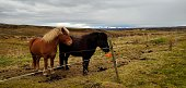 Icelandic horse behind the fence during autumn