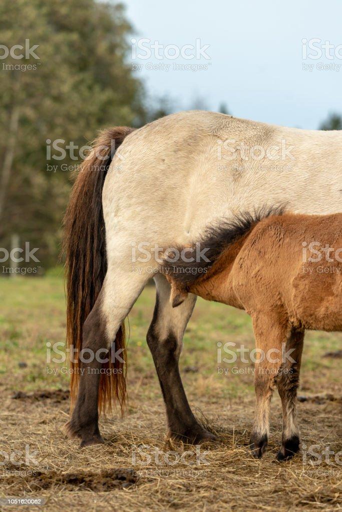 Icelandic horse foal suckling milk stock photo