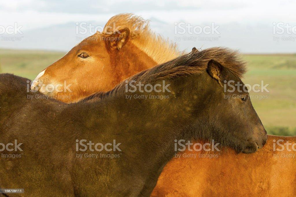 Icelandic Horse foals royalty-free stock photo