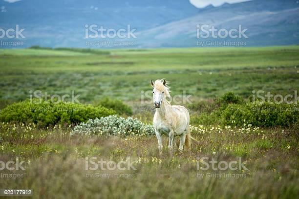 Icelandic horse in a beautifull field picture id623177912?b=1&k=6&m=623177912&s=612x612&h=moe i89kvkbtw8yvpdumptu9ovbge9m prm8ajkbhjs=