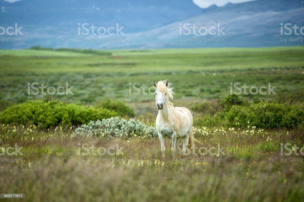 Icelandic Horse in a Beautifull Field stock photo