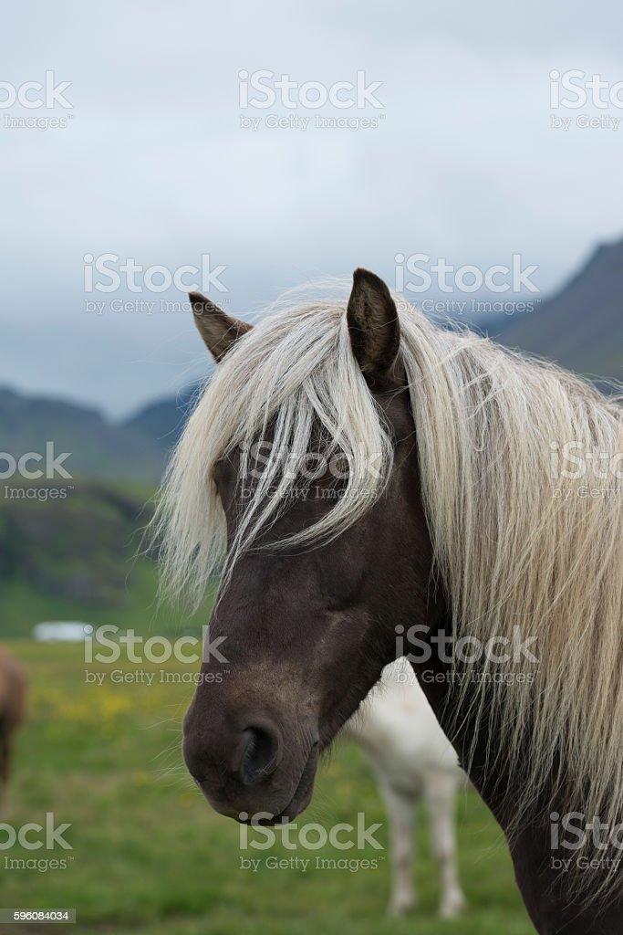 Icelandic horse looking at camera royalty-free stock photo
