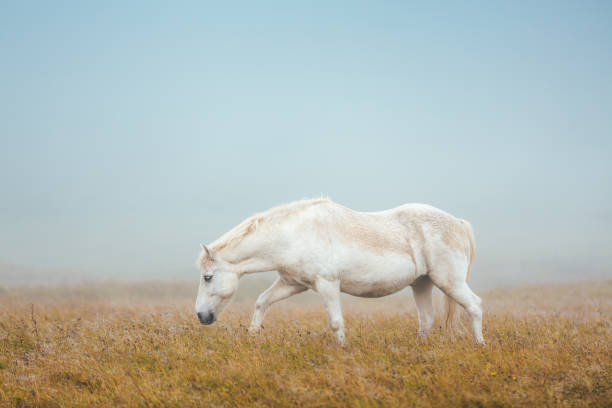 Icelandic Horse On Pasture stock photo