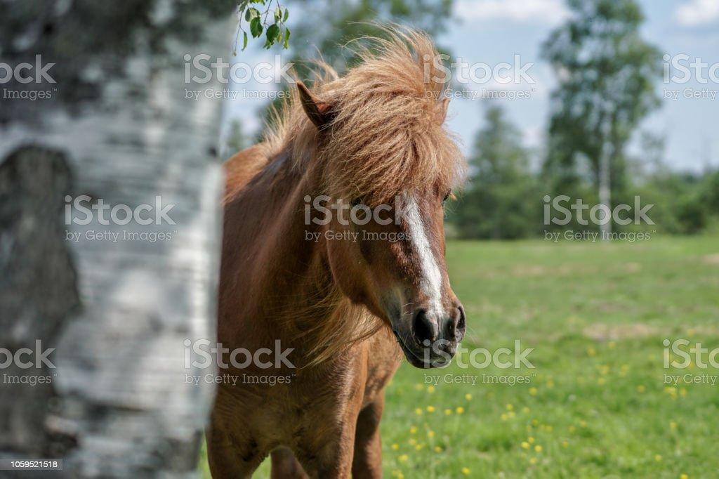 Icelandic horse peeking from  behind a tree stock photo