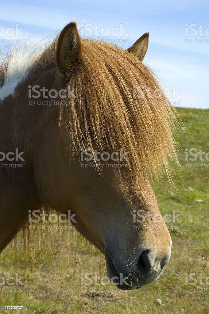 Icelandic horse royalty-free stock photo