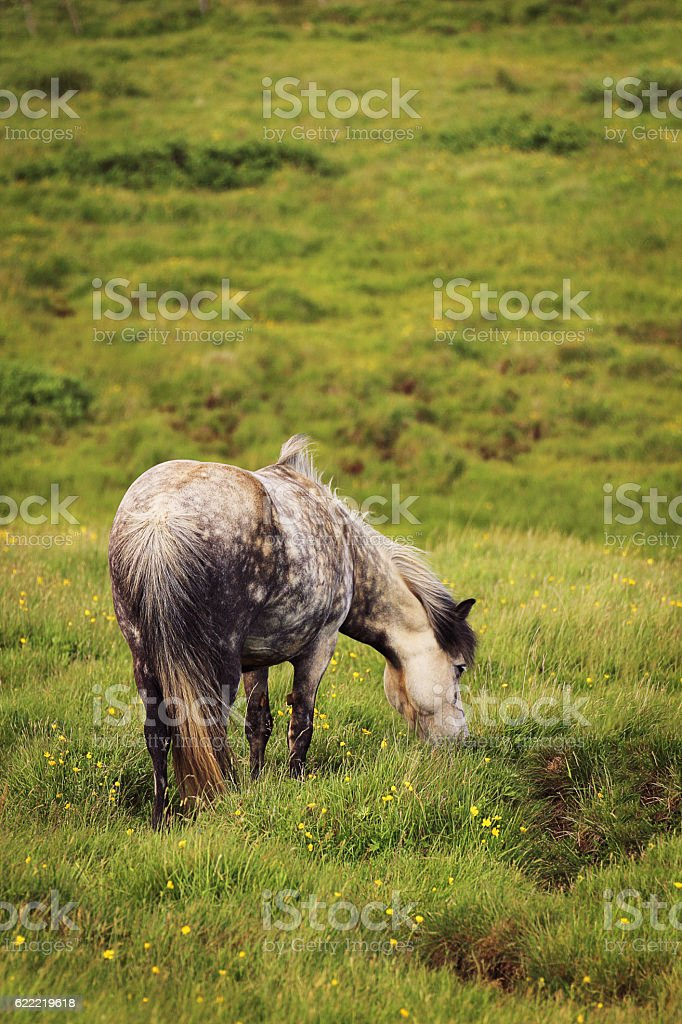Icelandic horse stock photo