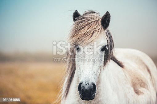 Close-up of white Icelandic horse on pasture.