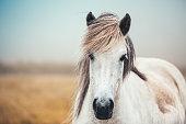 Close-up of white Icelandic horse on pasture.