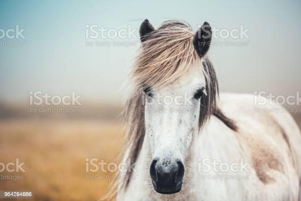 Icelandic horse picture id954264686?b=1&k=6&m=954264686&s=612x612&h=fjnn3vx7n5zbzwdrp1uxo8zttqktvgiyqtn53iqehc8=