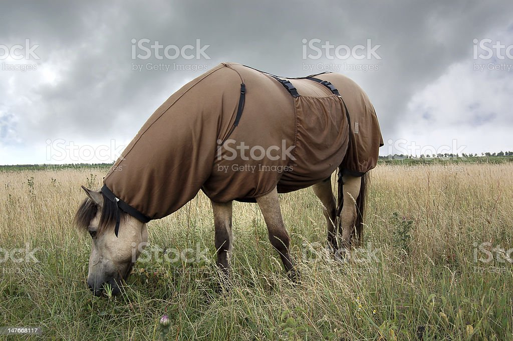 Icelandic Horse Wearing a Sweet Itch Blanket stock photo