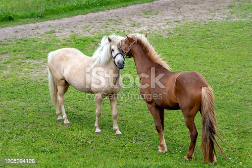 Icelandic horses in a green pasture. A palomino colored mare and a chestnut colored stallion acting sweet and tender to eachother prior to mating