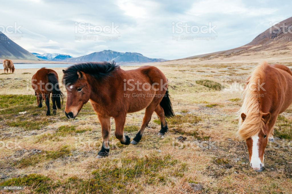 Icelandic horses in beautiful nature of Iceland royalty-free stock photo