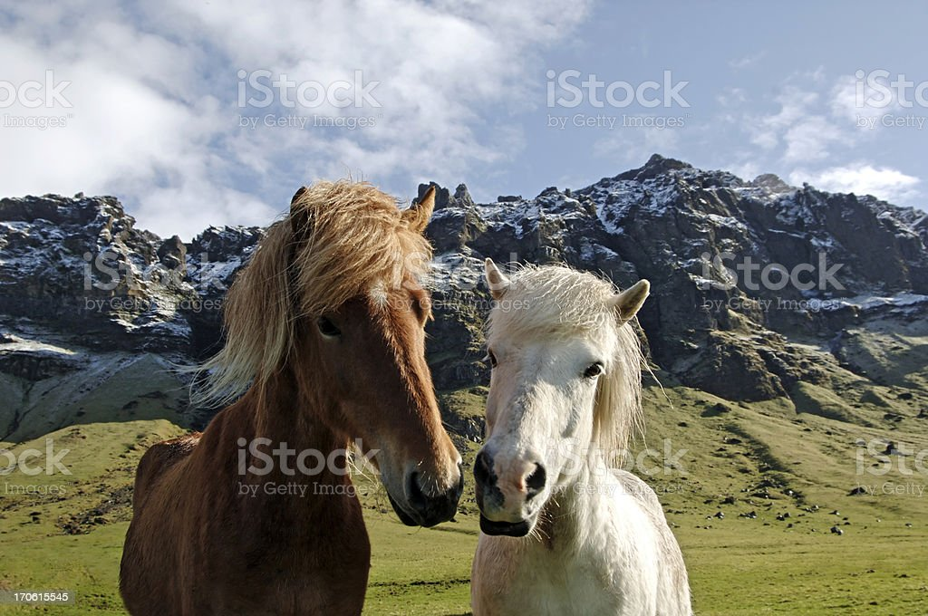 Icelandic horses in typical landscape royalty-free stock photo