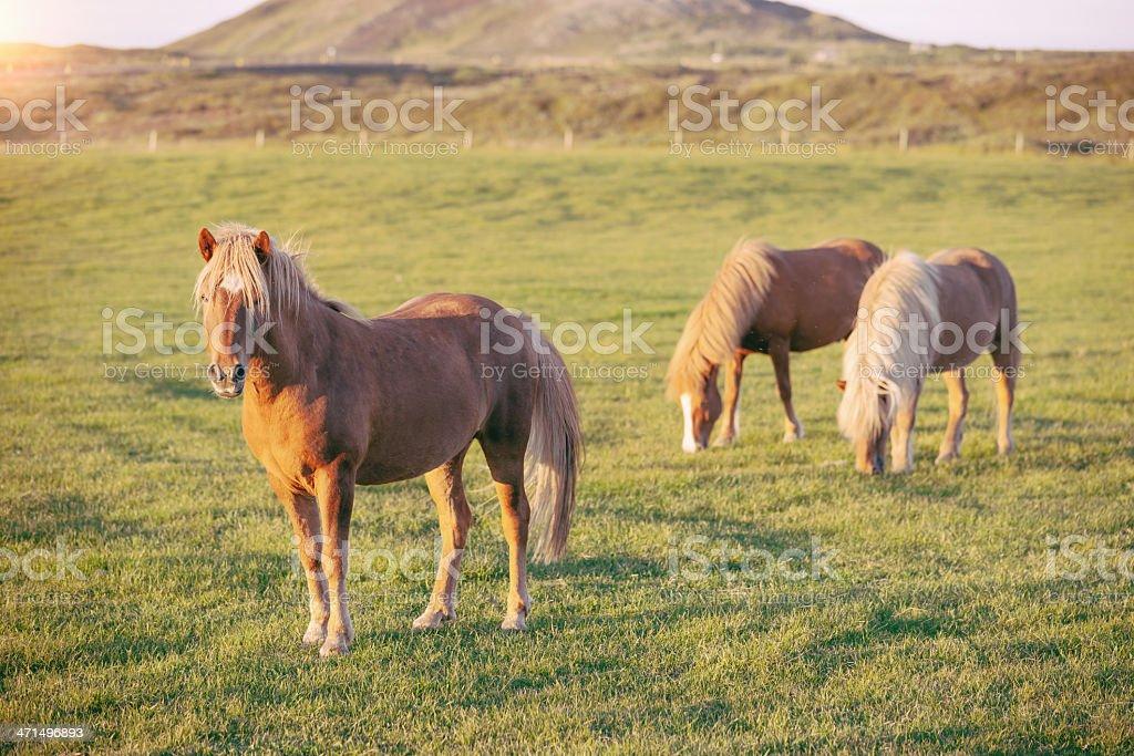 Icelandic Horses on Green Meadow royalty-free stock photo