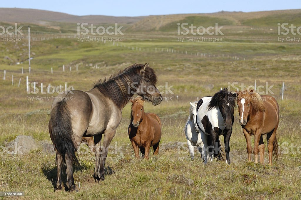 Icelandic horses. royalty-free stock photo