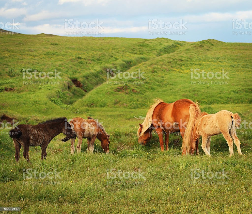 Icelandic horses stock photo
