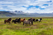 Icelandic horses running at the grass field, Iceland.