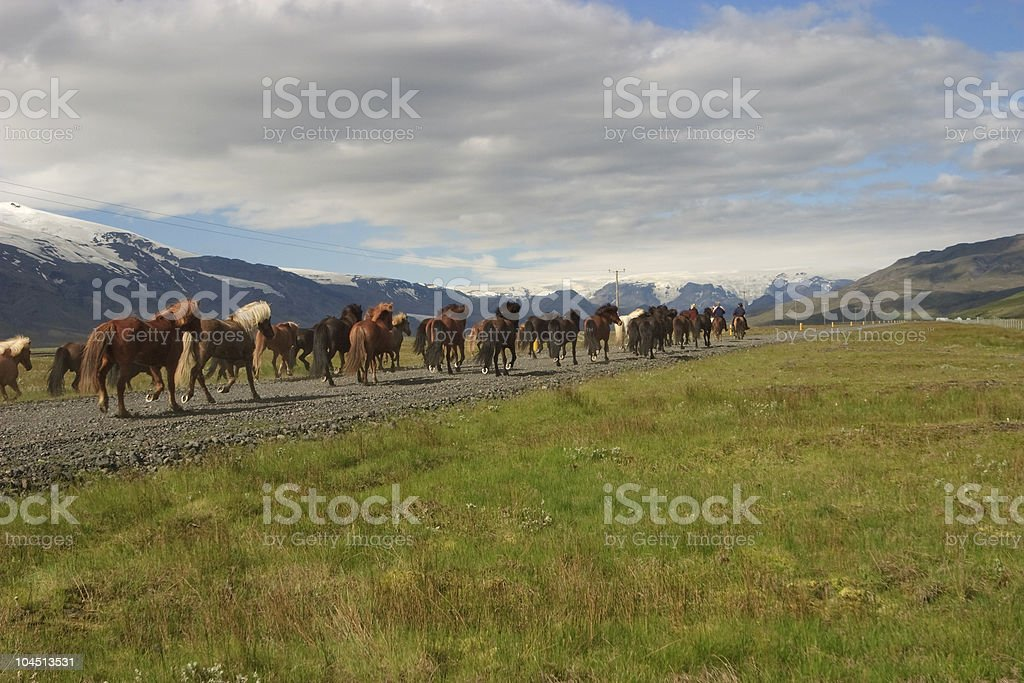 Icelandic Horses Running On A Road royalty-free stock photo