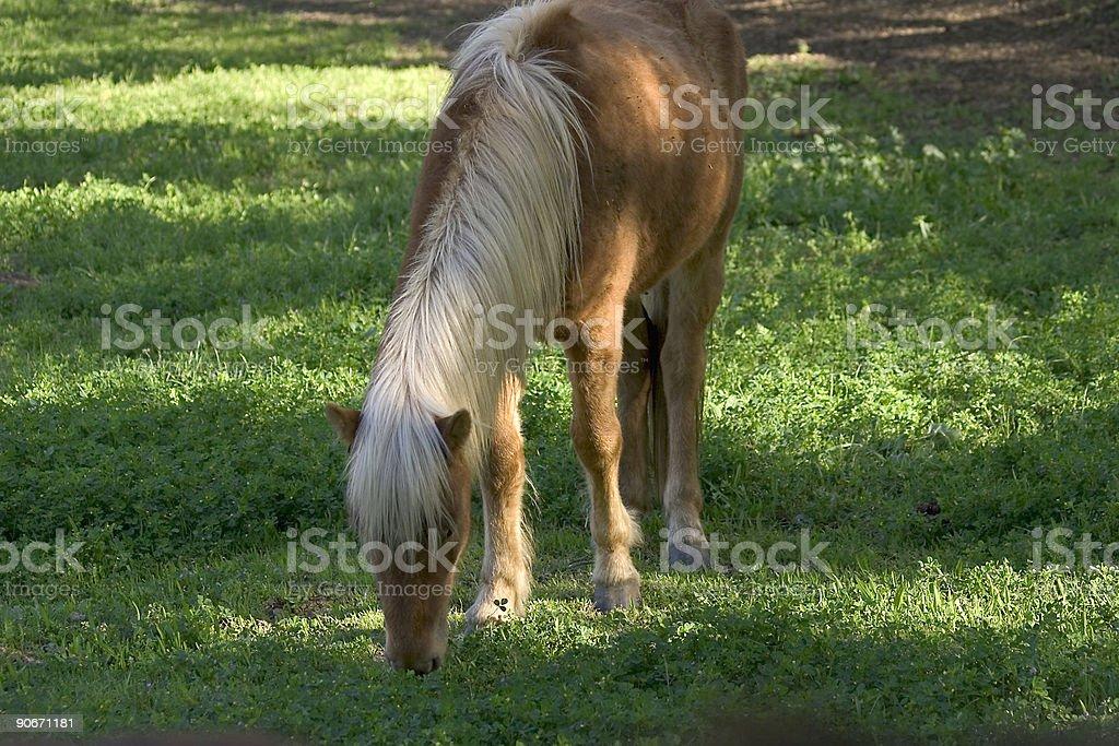 Icelandic Ponies royalty-free stock photo