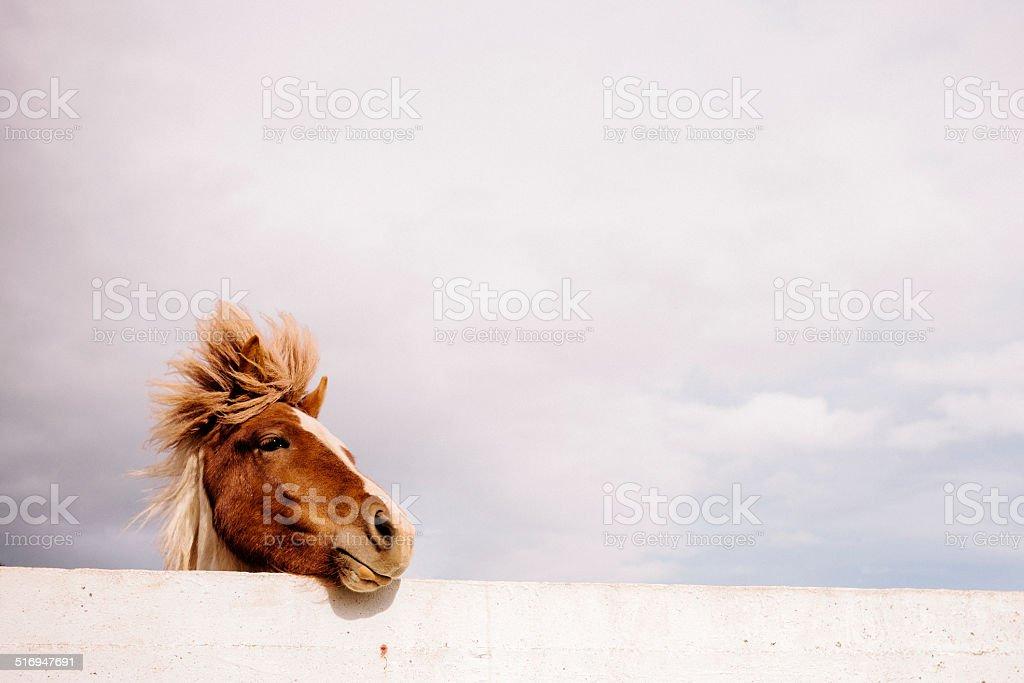 Icelandic Pony stock photo