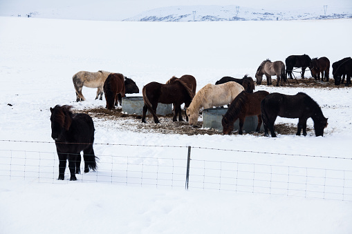 Icelandic real horse during winter snow