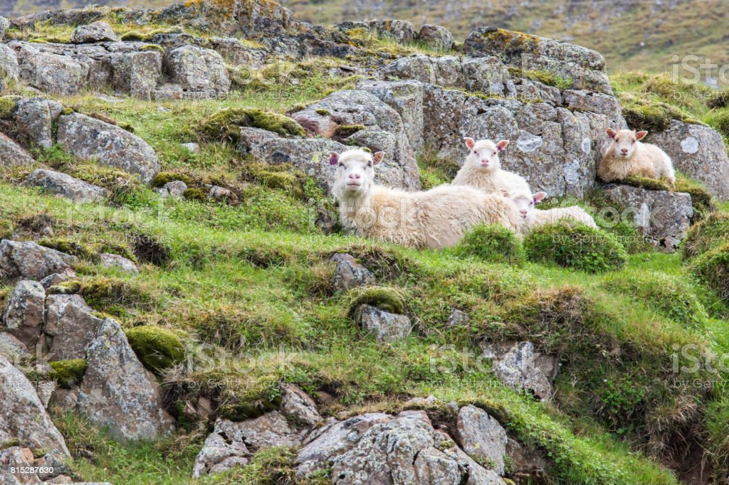 Icelandic Sheep and Lamb in the Field stock photo
