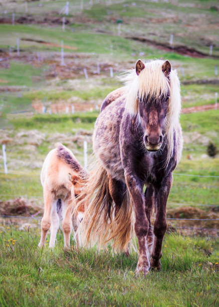Icelandlic Horse and Foal stock photo