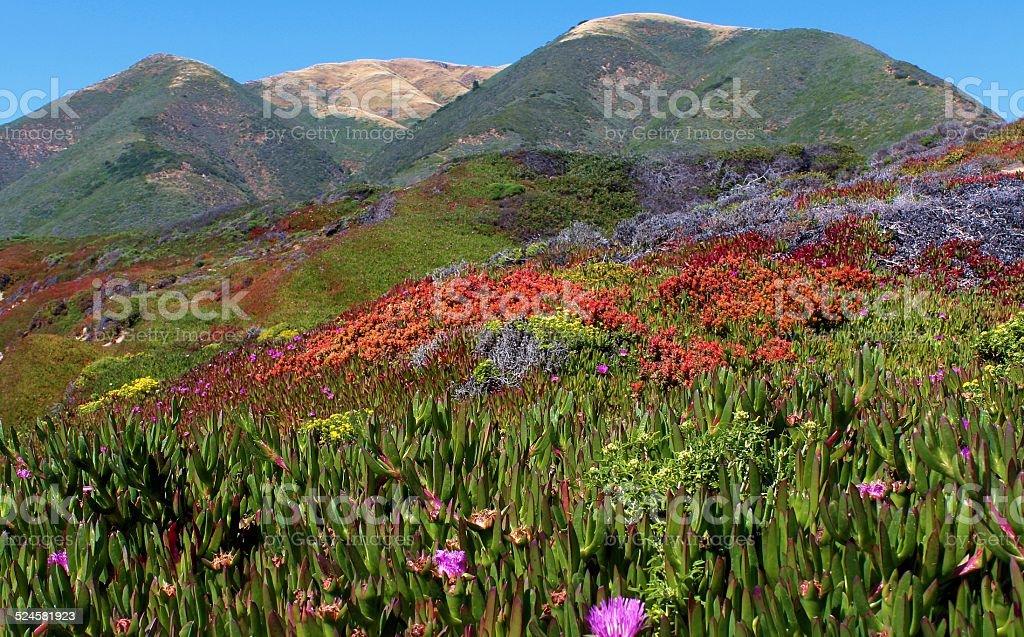 Iceplant and coastal mountains stock photo