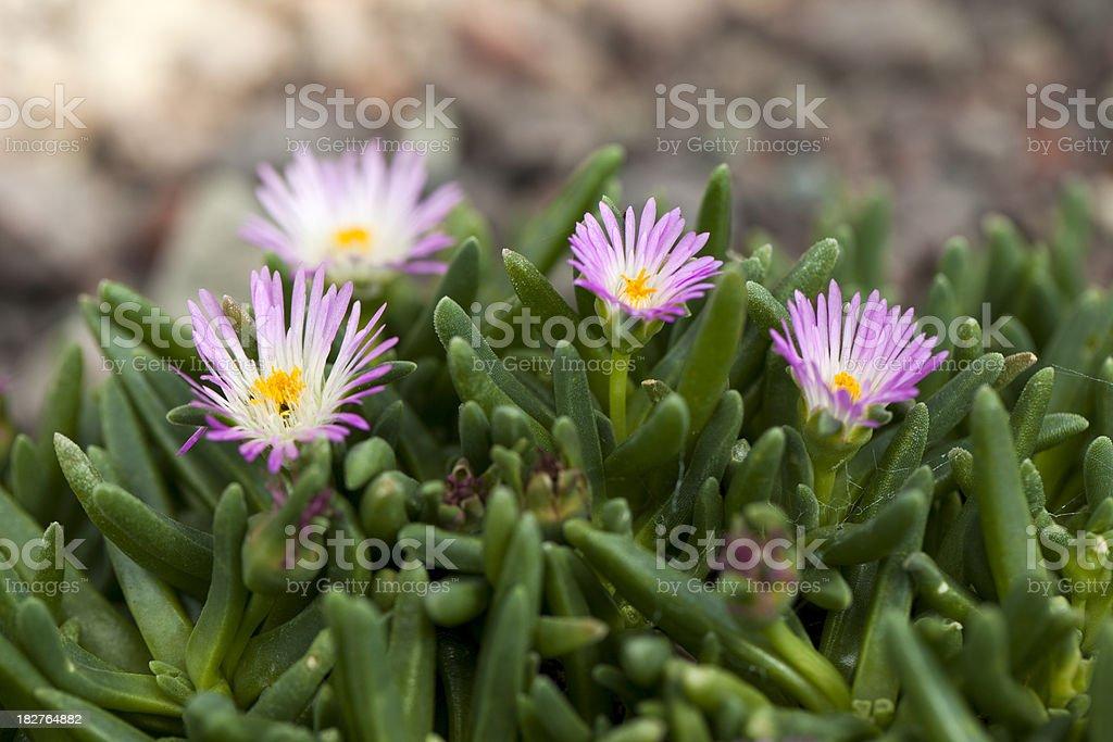 Iceplant (Delosperma harazianum) stock photo