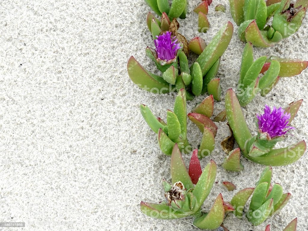 Iceplants at seashore with textured sand background stock photo
