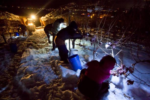 Icewine Grape Harvesting stock photo