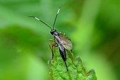 Parasitoid wasp