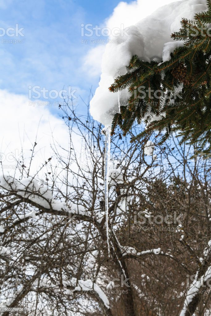 icicle from melting snow on branch of fir-tree stock photo
