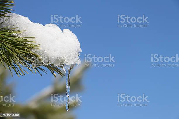 Photo of Icicle on a snow-covered pine branch