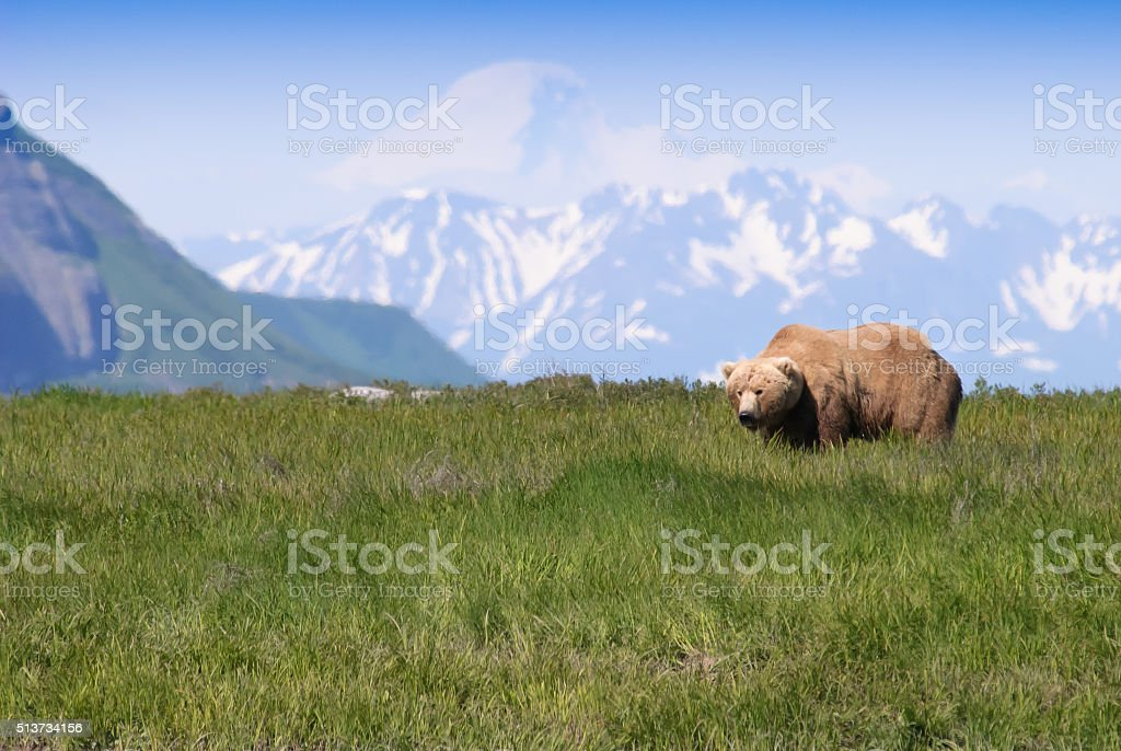 Iconic Alaska Brown Bear and Snow Capped Mountain stock photo