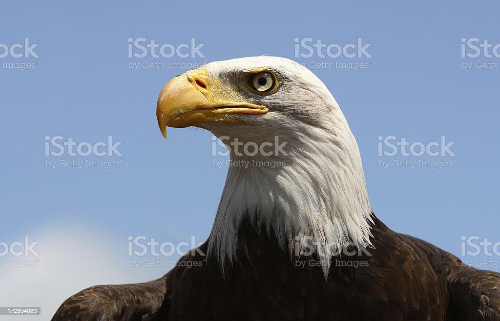 Águila calva icónicas foto de stock libre de derechos