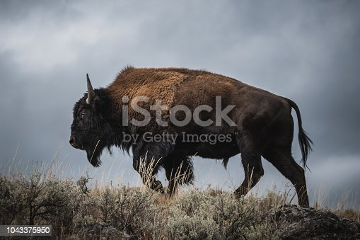 A lonely Yellowstone Bison roams the stormy plains