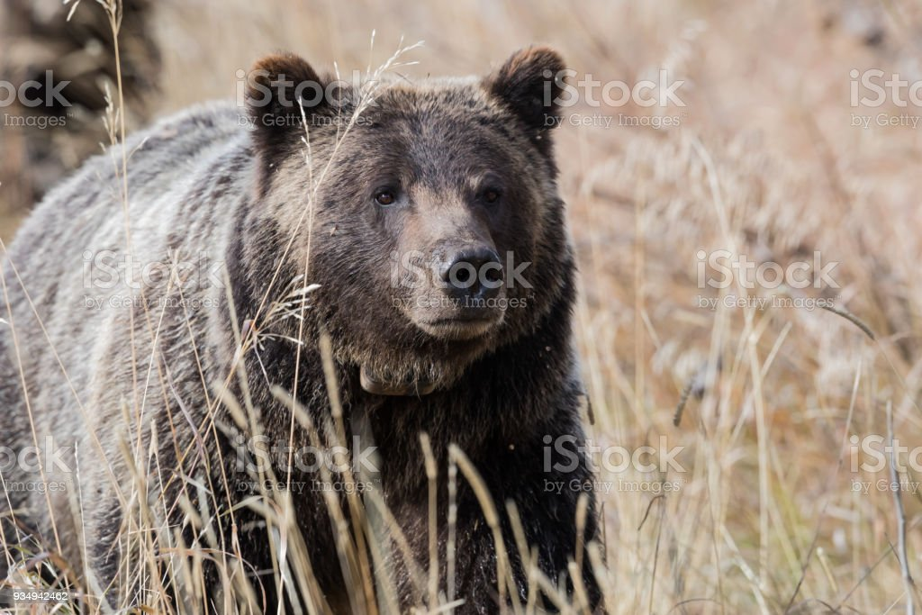 Iconic Grizzly stock photo
