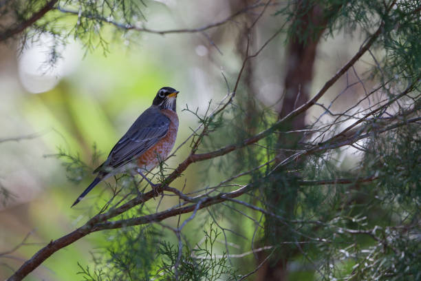 Iconic sign of Springtime, an American Robin perched in tree stock photo